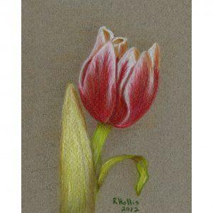 Tulip 5″x 7″