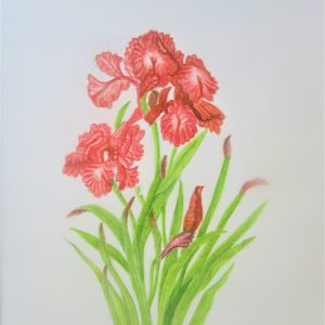 Orange Irises 8×10